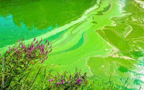 Leinwandbild Motiv Water pollution by blooming blue-green algae (Cyanobacteria) is world environmental problem. Water bodies, rivers and lakes with harmful algal blooms. Ecology concept of polluted nature.