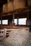 Capretta che sporge  dal recinto in legno nella stalla per mangiare - 230981126