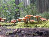 Souche à champignons
