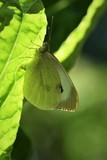 mariposa de la col desobando
