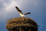 Young strok in the nest trying to fly