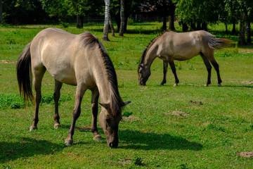 Konik horse from poland