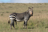 Mountain zebra stallion in the Mountain Zebra national Park in South Africa - 230998129