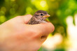 Leinwanddruck Bild - Sparrow in hands on a blurred green background