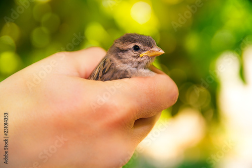 Leinwandbild Motiv Sparrow in hands on a blurred green background