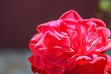 Rosa da vida