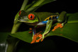 Red-eyed Tree Frog in The Arenal Rainforest, Costa Rica