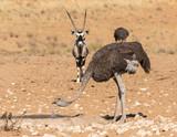 ostrich drinking water in the desert - 231026790