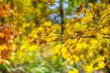 Farben der Erde. Eiche im Herbst. Franken. - 231027985