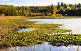 Autumn scenes. Water lilies on pond