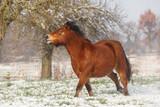 Pony im Schnee - 231038780