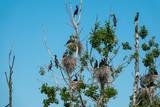 Colony of great cormorants in near distance - 231047516