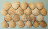 Collection of vintage spiny cockle (Acanthocardia aculeata) shells from edible marine bivalves. Textured montage of 22 on a blue card background. - 231049108