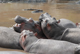 Group of hippos in a river in Serengeti National Park, Tanzania - 231062536