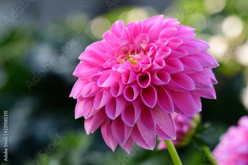 Close up of a pink dahlia flower