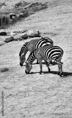 zebras in jerusalem zoo