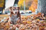 Dog camouflaged in colorful autumn leaves. Selective focus. - 231069538