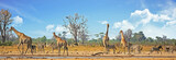 Typical African Vista with zebra and giraffe around a waterhole with a natural bushveld background. Hwange National Park, Zimbabwe..Heat Haze is visible - 231075143