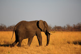 A solitary African Elephant walking across the vast dry open plains of Hwange National Park, Zimbabwe - 231075172
