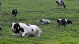 牧場でくつろぐ牛たち - 231077985