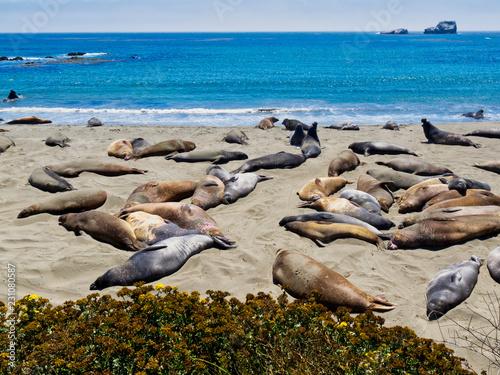 Eléphants de mer sur la côte Pacifique - 231080587