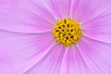 コスモスの花 © kharazono