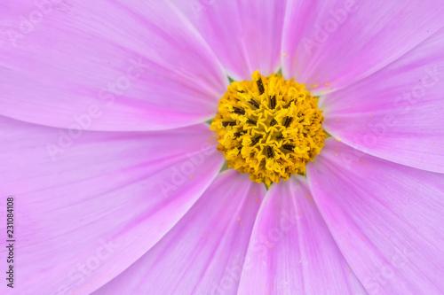 コスモスの花 - 231084108