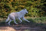 Loup blanc arctique