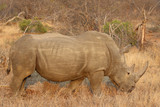 The white rhino male in Kruger National Park - 231100186