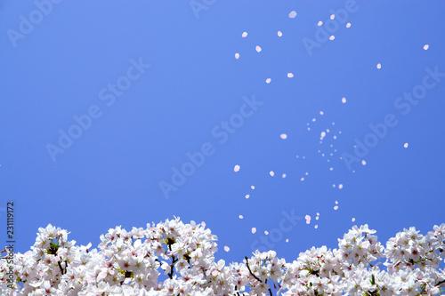 満開の桜(青空に舞い上がる花びら)