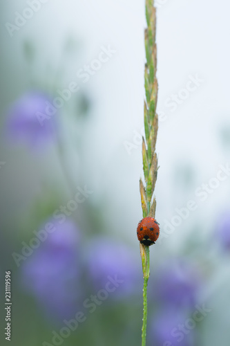 Ladybug with dew on a straw in early morning, harebells in the background