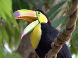 keel-billed toucan head portrait (Ramphastos sulfuratus) - 231130736