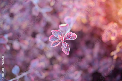 Fresh amaranth leaf background - 231130951