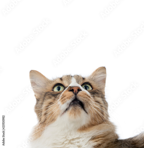Norwegian Forest Cat Looks at Copy Space     - 231130982