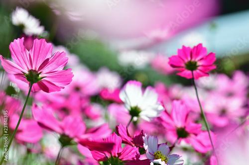 秋の花 コスモス - 231148395