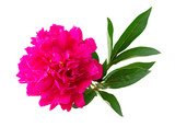 Wonderful Rose (Peony, Rosaceae) isolated on white background, including clipping path. Germany - 231149718