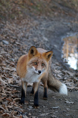 Red fluffy Fox on the road
