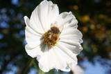 Honey bee on white Cosmos flower. Cosmos Bipinnatus in the garden - 231157938
