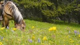 Horse grazing in a beautiful alpine meadow in bloom (British Columbia, Canada) - 231159143