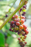 Branches of unripe grape in the vineyard. Selective focus. Shallow depth of field.