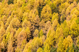 Pine Forest Texture.  Texture of coniferous forest (Larix sibirica). - 231168792