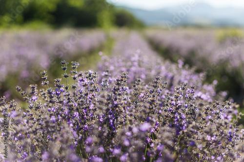 Sunny lavender flowers © nikolay100