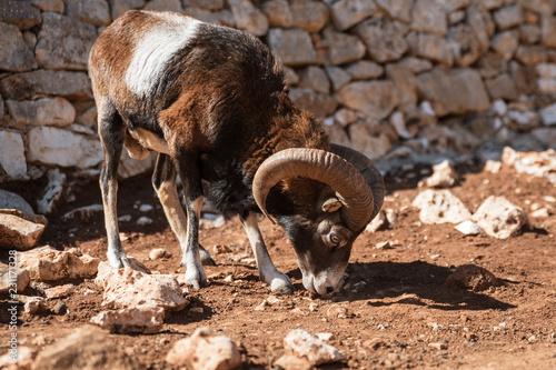 Fridge magnet mouflon