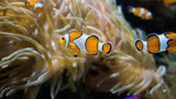 Poisson-clown corail mer nature - 231180752