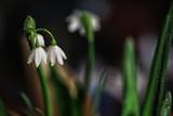 snowdrop spring flowers, background beautiful wild flower