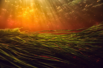 underwater photo of freshwater pond / underwater landscape with sun rays and underwater ecosystem, algae and water lilies