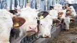 Hofeigenen Bio Kalb nachzucht, Kuh, Kälber, draußen - 231183398