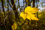 autumn leaf on tree twig in forest - 231183980