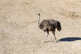 Ostrich On The Field - 231186595
