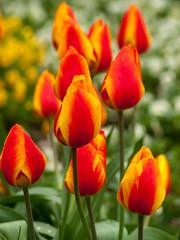 La tulipe botanique 'Emperor' (Tulipa emperor) aux grosses et hautes fleurs aux couleurs rouge orangé et jaune.